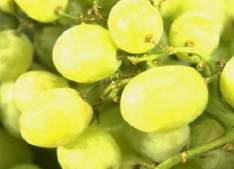 Developing The Grapes Of The Future